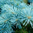 The branch of a blue spruce — Stock Photo