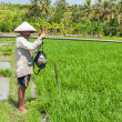 Rice farming in Bali - Stock Photo