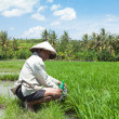 Stock Photo: Rice farmer in Bali