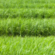 Stock Photo: Rice paddy field