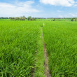 Rice paddy field — Stock Photo #10962418