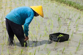 Rice farming in Bali — Stock Photo