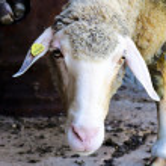 Sheep head — Stock Photo
