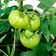 Stock Photo: Green tomatoe