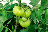 Green tomatoe — Stock Photo