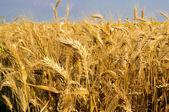 Organic wheat — Stock Photo
