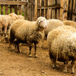 Bunch of sheeps — Stock Photo