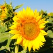 Stock Photo: Beuty sunflower