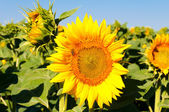 Beuty sunflower — Stock Photo