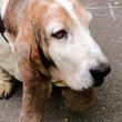 Stock Photo: Basset portrait