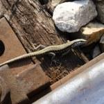 Small lizard — Stock Photo