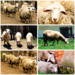 Sheeps on farm — Stock Photo