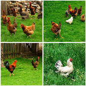 Chickens collage — Stock Photo