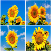 Sunflower collage — Stock Photo
