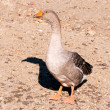 SIngle duck — Stock Photo #12132266