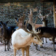 Deers in zoo — Stock Photo