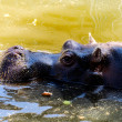 Chilling Hippo — Stock Photo