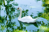 Elegant Swan — Stock Photo