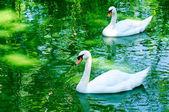 Couple of swan — Stock Photo