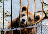 Locked bear — Stock Photo