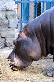 Hippo eating — Stock Photo