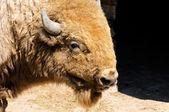 Bison head — Stock Photo