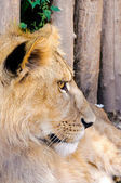 Lion profile — Stockfoto
