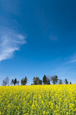 Oilseed rape field — Stock Photo