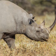 Black rhinoceros in Etosha National Park, Namibia - Stock Photo