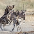 Burchell's zebra in Etosha National Park, Namibia - Stock Photo