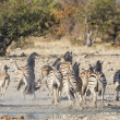 Burchell's zebra in Etosha National Park, Namibia — Stock Photo