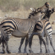 Burchell's zebra in Etosha National Park, Namibia — Stock Photo #11514866