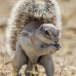 Cape ground squirrel in Etosha National Park, Namibia — Stock fotografie