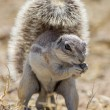 Cape ground squirrel in Etosha National Park, Namibia - Stock Photo