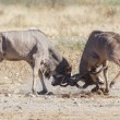 Greater kudus in Etosha National Park, Namibia — Stock Photo #11514948
