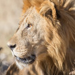 Male Lion in Etosha National Park, Namibia - Stock Photo