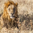 Male Lion in Etosha National Park, Namibia — Stock Photo