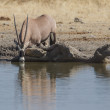 Oryx  in Etosha National Park, Namibia - Stock Photo
