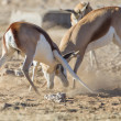 Springbuck in Etosha National Park, Namibia - 