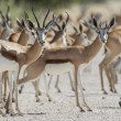 Springbuck in Etosha National Park, Namibia - Stock Photo