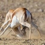 Springbuck in Etosha National Park, Namibia — Stock Photo #11515995