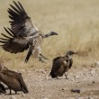 White-backed vulture in Etosha National Park, Namibia - Stock Photo