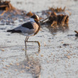 Blacksmith plover in Etosha National Park, Namibia - Stock Photo