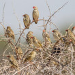 Stock Photo: Red-billed quelea in Etosha National Park, Namibia
