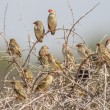 Red-billed quelea in Etosha National Park, Namibia - Stock Photo