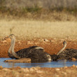 Drinking Ostrich in Etosha National Park, Namibia - Stock Photo