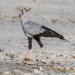 Secretary bird in Etosha National Park, Namibia - Stock Photo