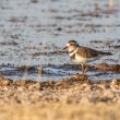 Three-banded plover in Etosha National Park, Namibia - Stock Photo