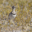 Two-banded courser in Etosha National Park, Namibia - Stock Photo