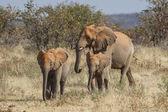 Elefante africano no parque nacional de etosha, namíbia — Foto Stock